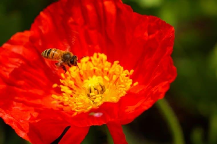 アイスランドポピーとミツバチ